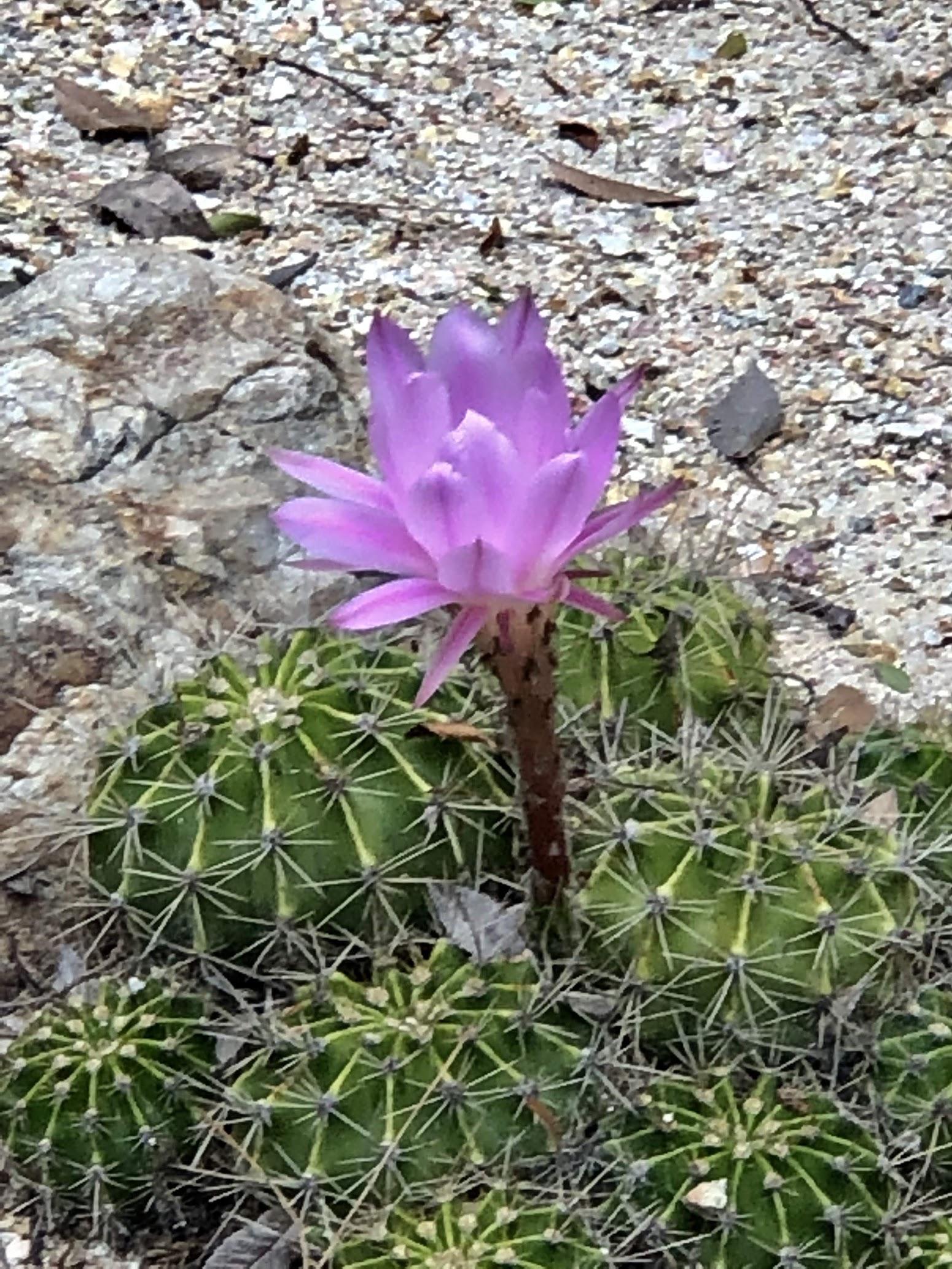 lotus cactus
